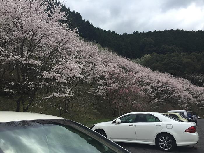 桜、お花見で大惨事